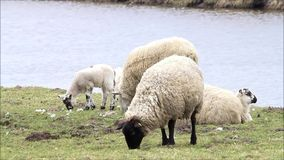 Pecore nere bianche sulla diga vicino al lago che pascono, pasqua archivi video