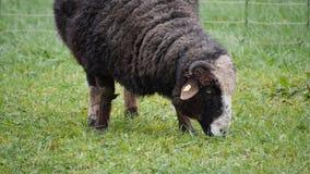 Pecore nere con i corni che pascono erba fresca stock footage