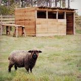 Pecore nere con la penna fotografia stock