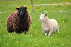 Pecore nere con un agnello bianco Fotografia Stock Libera da Diritti