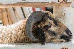 Pecore noiose del primo piano con i corni Immagini Stock Libere da Diritti