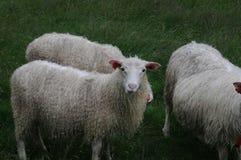 Pecore norvegesi Fotografia Stock Libera da Diritti
