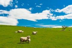 Pecore in Nuova Zelanda Fotografia Stock