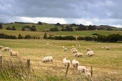 Pecore in Nuova Zelanda Fotografia Stock Libera da Diritti