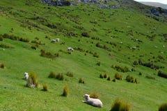 Pecore in nuovo Zealanad Immagini Stock Libere da Diritti