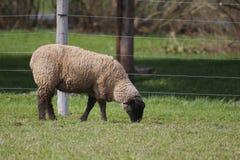 Pecore o agnello Immagini Stock Libere da Diritti