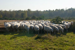 Pecore in Olanda Fotografia Stock