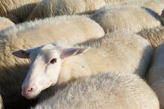 Pecore in Olanda Immagini Stock
