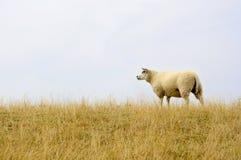 Pecore olandesi del texel Fotografie Stock Libere da Diritti