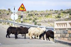 Pecore Oman Immagini Stock