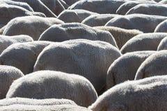 Pecore - Ovejas Fotografia Stock