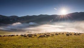 Pecore (ovis aries) Fotografia Stock Libera da Diritti