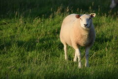 Pecore Paesi Bassi immagine stock