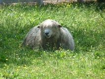 Pecore in pascolo Immagini Stock Libere da Diritti