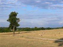 Pecore in pascolo Fotografia Stock