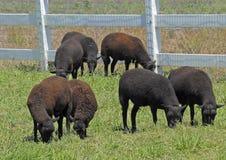 Pecore in pascolo Fotografia Stock Libera da Diritti