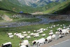 Pecore in pascolo Immagine Stock Libera da Diritti