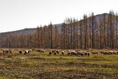Pecore in pascolo Immagine Stock