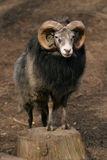 Pecore, pecore della Gotland - ram Immagine Stock Libera da Diritti