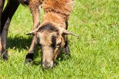 Pecore per il pascolo della sua erba Allevamento domestico delle pecore Fotografia Stock
