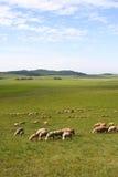 Pecore in prateria fotografia stock libera da diritti