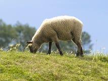 Pecore in prati fotografie stock