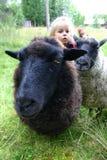 Pecore in prato Immagine Stock