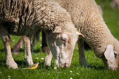 Pecore in prato verde Fotografia Stock
