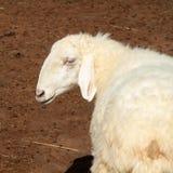 Pecore in prato verde Immagini Stock