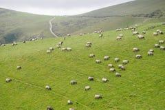 Pecore in prato verde Fotografia Stock Libera da Diritti