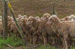 Pecore pronte per scorrimento Fotografia Stock Libera da Diritti