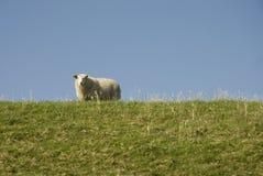 Pecore qui sopra sulla diga Immagini Stock Libere da Diritti