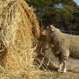 Pecore - ram Fotografia Stock