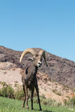 Pecore Ram Head On del deserto Immagini Stock Libere da Diritti