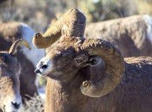 Pecore Ram Sticking Tongue Out del Big Horn Fotografie Stock Libere da Diritti
