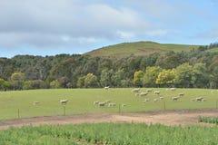 Pecore in ranch Immagine Stock Libera da Diritti