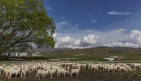 Pecore in recinti per il bestiame, Otago, Nuova Zelanda Fotografia Stock