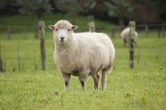Pecore in recinto chiuso Fotografia Stock