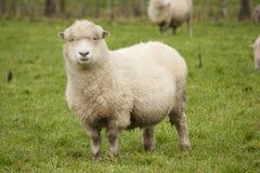 Pecore in recinto chiuso Fotografia Stock Libera da Diritti