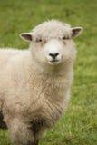 Pecore in recinto chiuso Immagine Stock Libera da Diritti