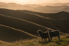 Pecore retroilluminate che pascono sulle colline di Wither immagine stock libera da diritti