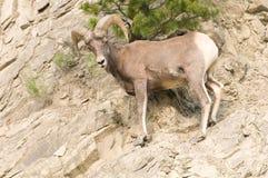 pecore rocciose del pendio di collina del bighorn Fotografie Stock Libere da Diritti
