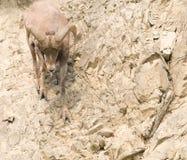 pecore rocciose del pendio di collina del bighorn Fotografia Stock