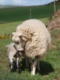 Pecore in Scozia Fotografia Stock