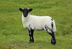 Pecore scozzesi del blackface Immagine Stock Libera da Diritti