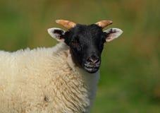 Pecore scozzesi del blackface Immagini Stock Libere da Diritti
