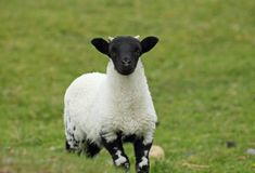 Pecore scozzesi del blackface Immagine Stock