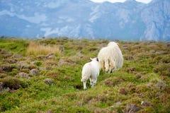 Pecore segnate con la tintura variopinta che pasce nei pascoli verdi dell'Irlanda Immagini Stock Libere da Diritti