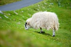 Pecore segnate con la tintura variopinta che pasce nei pascoli verdi dell'Irlanda Immagine Stock
