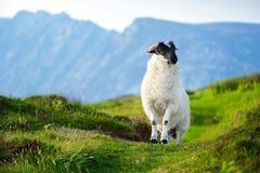 Pecore segnate con la tintura variopinta che pasce nei pascoli verdi dell'Irlanda Fotografia Stock Libera da Diritti